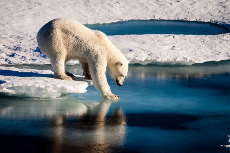 A polar bear tests the strength of thin sea ice